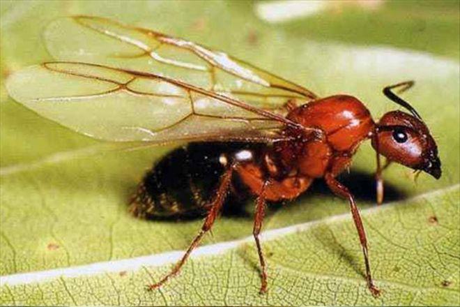 kanatlı-karınca