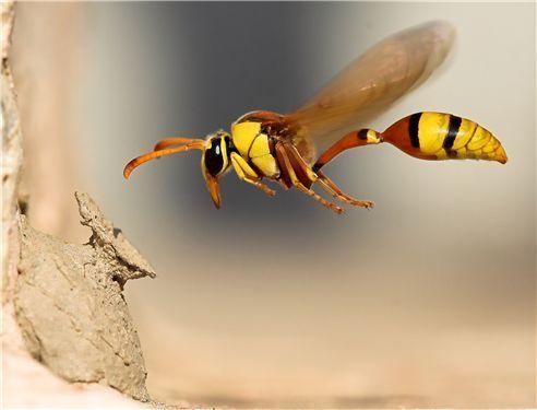 eşek arısı hakkında bilgiler