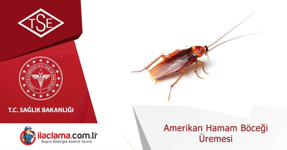 amerikan-hamamböceği-üremesi