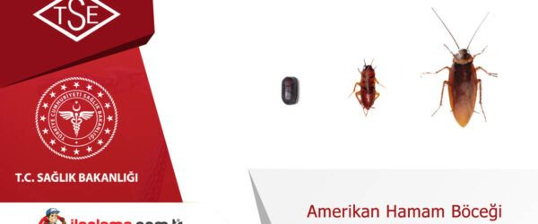 Amerikan Hamamböceği Yaşam Döngüsü