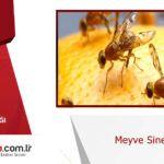 Meyve sineği istilası