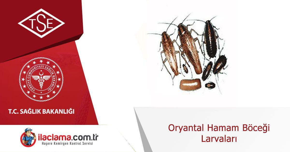 Oryantal Hamam Böceği Larvaları