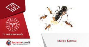 kraliçe-karınca