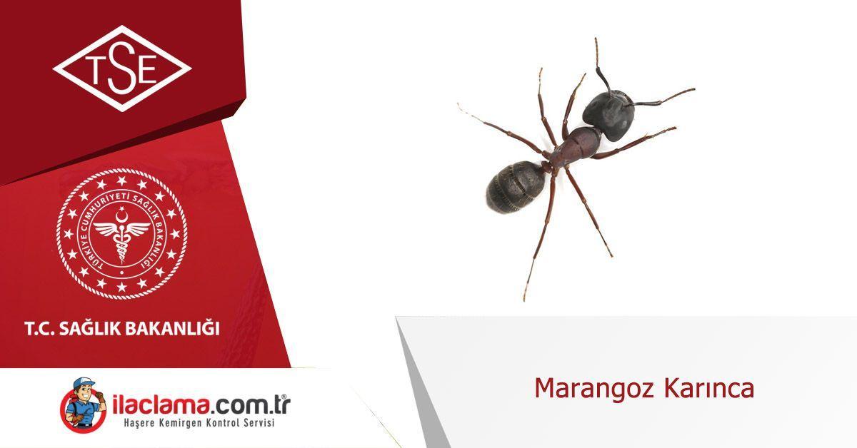 Marangoz Karınca