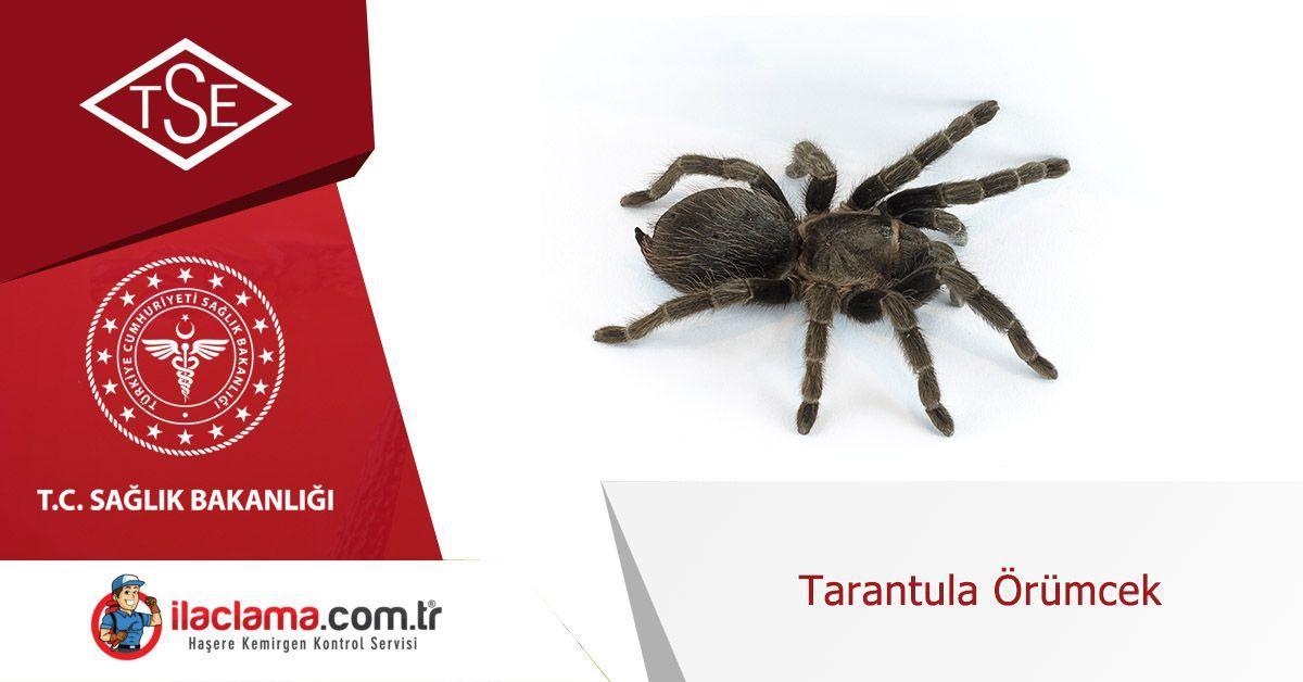 tarantula-örümcek-bilgiler