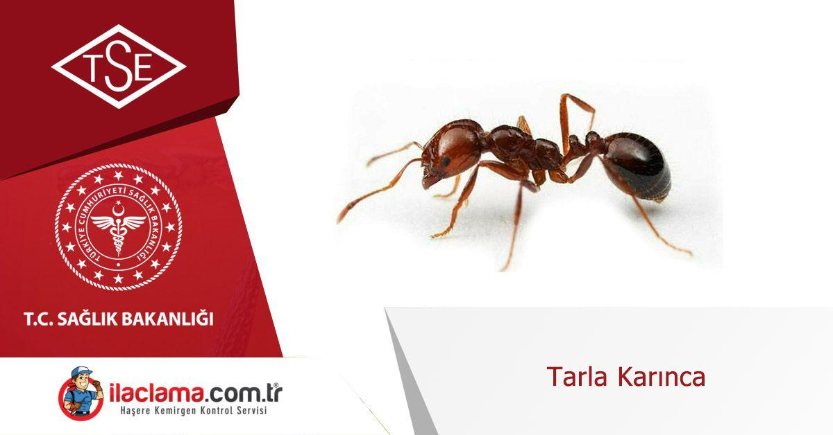 tarla-karınca